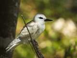 Large White Tern (Gygis Alba) Chick  Lord Howe Island  New South Wales  Australia