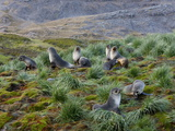 Antarctic Fur Seals (Arctocephalus Gazella)  Husvik Island  Antarctic  Polar Regions