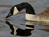 Canada Goose With Reflection While Swimming and Drinking  Denver City Park  Denver