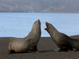 Antarctic Fur Seals (Arctocephalus Gazella)  Deception Island  South Shetlands  Antarctic
