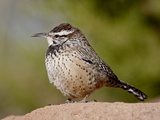 Cactus Wren (Campylorhynchus Brunneicapillus)  Arizona Sonora Desert Museum  Tucson  Arizona  USA