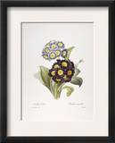 Redoute: Auricula  1833