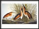 Audubon: Bittern