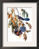 Audubon: Scrub Jay  1827-38