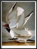 Audubon: Gull