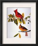 Audubon: Cardinal