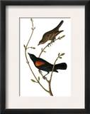 Audubon: Blackbird