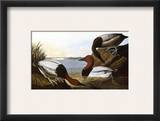 Audubon: Canvasback  1827