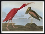Audubon: Scarlet Ibis