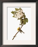 Audubon: Warbler  1827-38