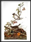 Audubon: Ovenbird