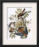 Audubon: Kestrel  1827
