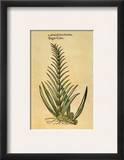 Sugar Cane  1597