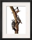 Audubon: Woodpecker