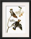 Audubon: Waxwing