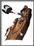 Audubon: Woodpecker