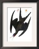 Audubon: Frigatebird