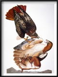 Audubon: Red-Tailed Hawk