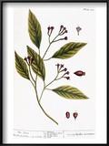Cloves  1735