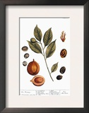 Nutmeg  1735