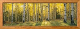 Aspen Trees in Coconino National Forest, Arizona, USA Photo encadrée par Panoramic Images