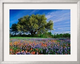 Live Oak  Paintbrush  and Bluebonnets in Texas Hill Country  USA