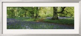 Bluebells in a Forest  Thorp Perrow Arboretum  North Yorkshire  England