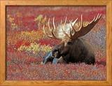 Bull Moose in Denali National Park, Alaska, USA Photo encadrée par Dee Ann Pederson