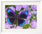 Blue and Black Butterfly on Lavender Flowers  Sammamish  Washington  USA