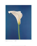 Calla Lily  Nature's White on Deep Blue