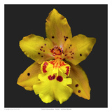 Orchid Odontocidium - Mayfair