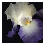 Tall Bearded Iris 9
