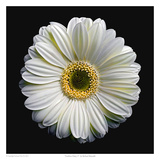 Gerbera Daisy 2