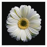 Gerbera Daisy 2