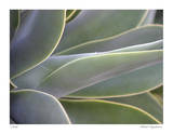 Agave IV