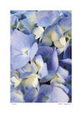 Pale Blue Hydrangea