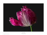 Parrot Tulip