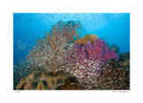 Soft Corals and Glassfish