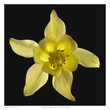 Columbine - Origami Yellow