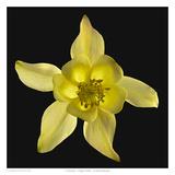 Columbine - Origami Yellow