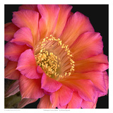 Echinopsis Cactus Monet