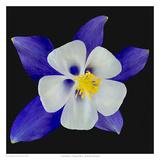 Columbine - Origami Blue