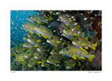 Schooling Sweetlips with Glassfish