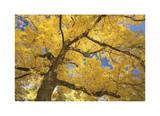 Stewart Park Walnut Trees II