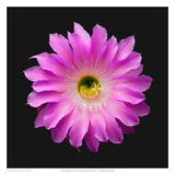 Echniopsis Cactus Hybrid Maria Piazza