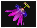 Amethyst Passion Flower