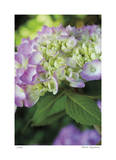 Pink Hydrangea 2