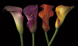 Jewel Calla Lilies