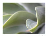 Agave VI