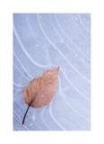 Frozen Leaf in Ice